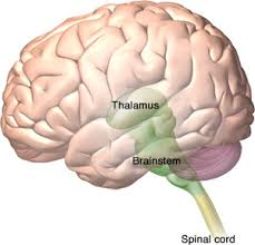 Thalamus Part Of The Brain 137 Stroke Care Module 03