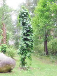 Non Invasive Climbing Plants - 5 climbing plants for vertical butterfly gardens