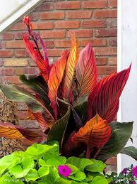 Cana Lilly 281 Best Canna Images On Pinterest Canna Lily Calla Lillies And