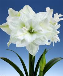 amaryllis white nymph royal amaryllis amaryllis