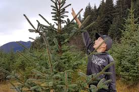 cut your own christmas tree on alaska public lands with family