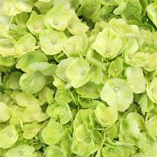 flower hydrangea lime green flower