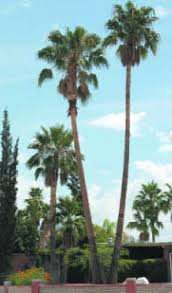 mexican fan palm growth rate las aventuras mexican fan palm