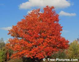 maple tree symbolism maple tree pictures images photos facts on maples trees