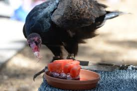 photos famed turkey vulture gets special birthday cake
