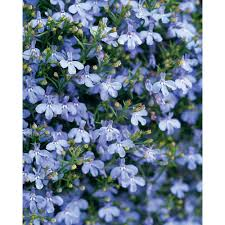 light blue flowers proven winners laguna sky blue lobelia live plant light blue