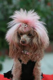 362 best poodle grooming images on pinterest poodle grooming