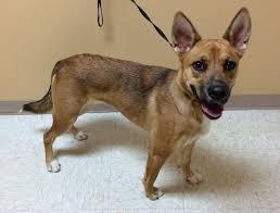 belgian sheepdog rescue texas woodward ok belgian malinois meet kenya a dog for adoption