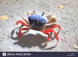 halloween crab cardisoma stock photos u0026 cardisoma stock images alamy