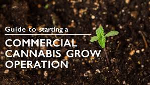 guide to starting a commercial cannabis grow operation