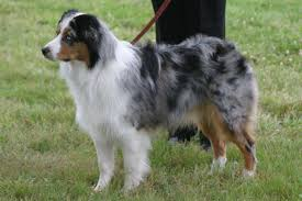 australian shepherd for sale near me miniature american shepherd puppies for sale from reputable dog