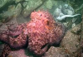 octopus cannibalism in wild caught on video for 1st time