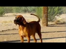 bluetick coonhound sale tosa inu x bluetick coonhound hybrid pups for sale youtube