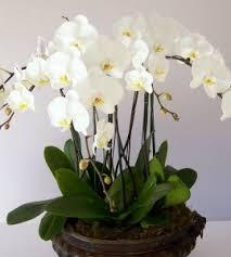 orchid plants opulent orchid plants in vancouver bc paradise garden florist