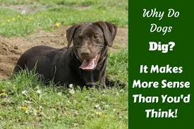 Can You Bury A Dog In Your Backyard Why Do Dogs Dig There U0027s Many More Reasons Than You Think