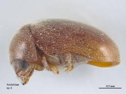 Biscuit Beetle In Bedroom Drugstore Beetle Catseye Pest Control