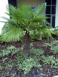 buy windmill palm trees for sale in orlando kissimmee