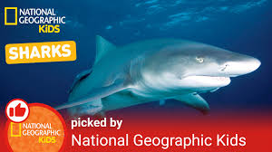all about sharks nat geo kids shark playlist youtube
