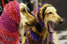 afghan hound times crufts 2013 pets and their owners take time out at crufts after