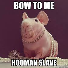 Shaved Guinea Pig Meme - bow to me hooman slave guinea pig emperor meme generator