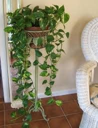 pothos amazing indoor plants with planter stand beautiful