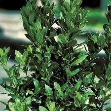 100 star fruit tree for sale best 25 dwarf fruit trees