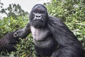 Funny Gorilla Memes - i can has cheezburger come at me bro funny animals online