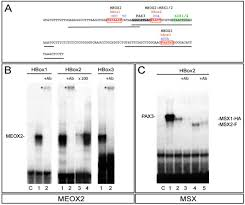 Flag Tag Dna Sequence Fine Tuning The Onset Of Myogenesis By Homeobox Proteins That