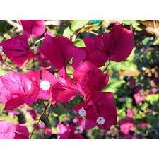 bougainvillea u0027barbara karst u0027 vines plant type boething
