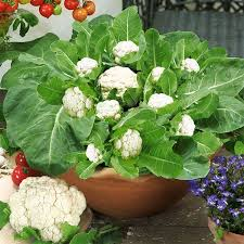 growing cauliflower in containers care how to grow cauliflower
