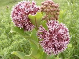 native plant plugs common milkweed roundstone native seed company