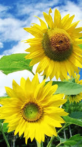 sunflower wallpapers 30 images in high quality sunflower by jabr haythornthwaite
