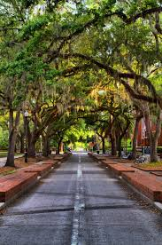 a canopy of trees along the walkway on the university of florida