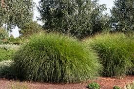 maiden grass monrovia maiden grass