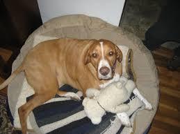 feeding a boxer dog bogle dog boxer beagle mix info temperament puppies pictures