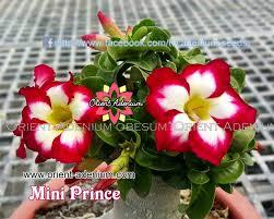 mini size plants collection orient adenium online store