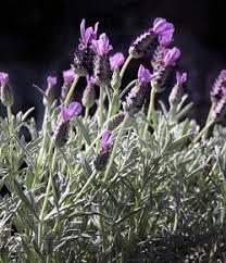 lavender flowers lavender flower 1 jpg
