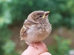 captain u0027s log found a baby bird what do i do bird national