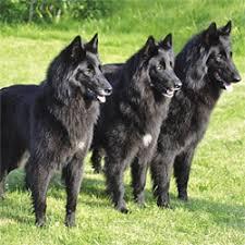 what is a belgian sheepdog belgian shepherds huge bundles of energy u2013 dogs and pups magazine
