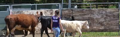 australian shepherd herding herding trial in italy quickbeam working australian shepherds