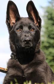 belgian sheepdog national specialty 2014 61 best police dogs k 9 images on pinterest police dogs