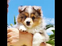 australian shepherd rescue san diego and friends aca registered mini australian shepherd puppy for sale in san