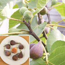 What Fruit Trees Grow In Texas - how to grow and fruit figs in your garden or container