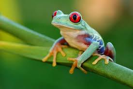 eyed tree frog thinglink