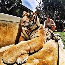 Most Amazing the most amazing animals on earth the siberian tiger gopro
