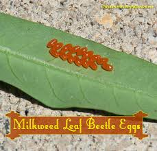 Plants That Repel Aphids by Stop Milkweed Pests From Ruining Milkweed For Monarchs