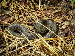 Snake In The Backyard by Garter Snake Betty Hall Photography