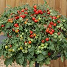 amazon com red profusion f1 hybrid tomato 20 seed best suited
