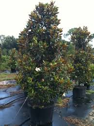 image result for magnolia gem plant materials for houston