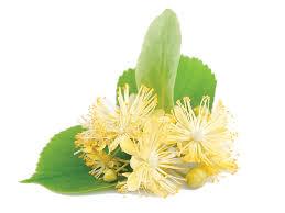 linden flower linden flower tilia europaea flower extract bio botanica